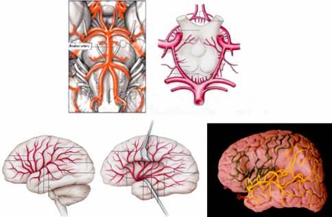 Disección del encéfalo   GUIAS DE NEURO