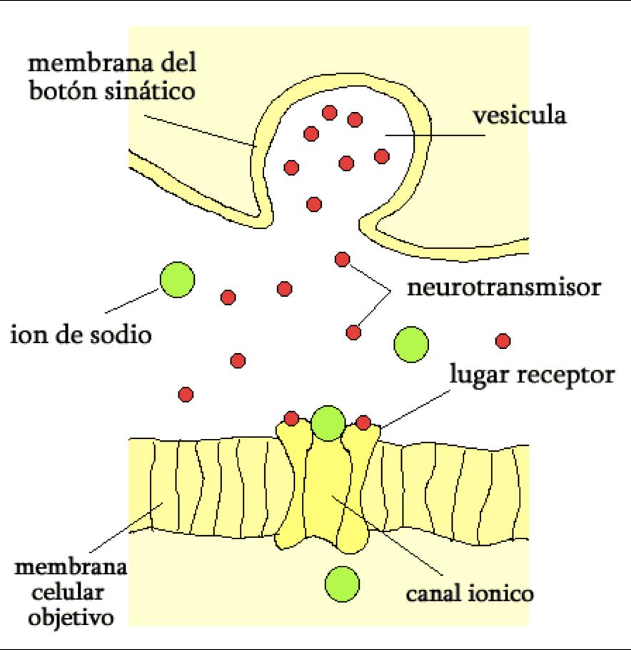 Neurotransmisores en la Sinapsis
